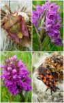 Marsh orchids and insects 5 May 2020