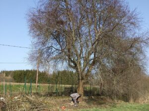 Cutting down the plum tree